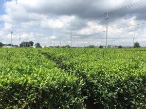 入間市の茶畑